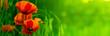 bandeau horizontal vert et fleur rouge - nature et coquelicot - 14897803