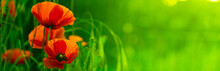 """Постер, картина, фотообои """"bandeau horizontal vert et fleur rouge - nature et coquelicot"""""""
