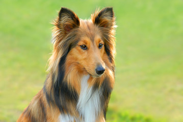 lassie dog 2