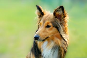 lassie dog 1