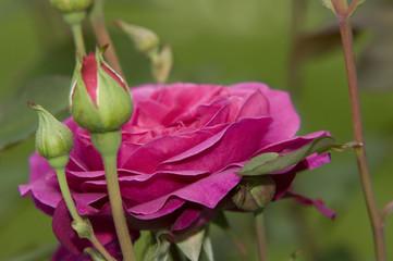 violette Rose