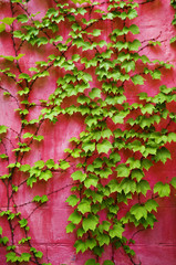 green ivy on pink wall background