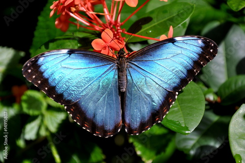 A pretty blue Morpho
