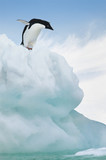 Adelie Penguin jumping from iceberg