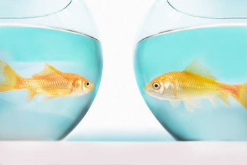 two goldfish facing each other in separate fish bowls, studio shot