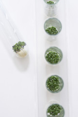 Cress seedlings growing in petri dishes, view from above