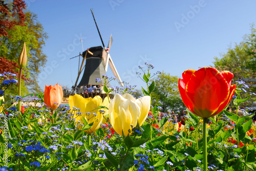 Canvas Amsterdam typical dutch: mill and tulips in keukenhof holland