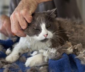 Trimming the Persian Cat
