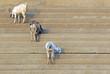 goats at the ghats of varanasi india