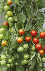 Ripening Tomato Plant