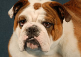 english bulldog female - red brindle and white poster