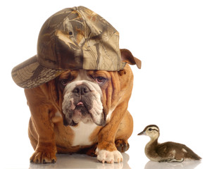 bulldog with hunting hat sitting beside a baby mallard duck