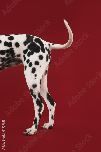 Dalmatian standing, tail and hind legs, side view