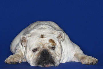 Bulldog, lying down, front view