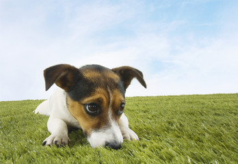 Jack Russell terrier lying prone in grass, front view