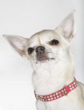 Chihuahua wearing studded collar, close-up