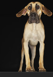 Great Dane standing with ears extended, front view