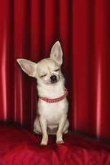 Chihuahua, eyes closed, sitting on red pillow