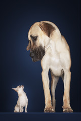 Chihuahua sitting, Great Dane standing alongside, front view