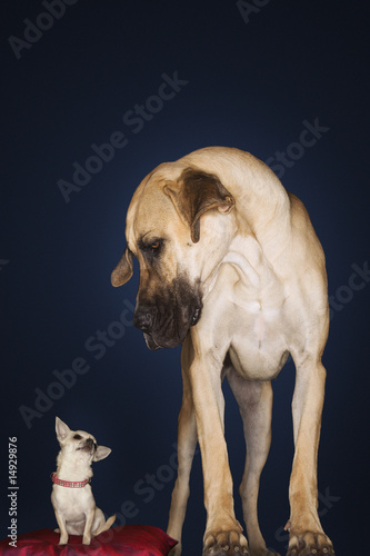 Chihuahua sitting on red pillow, Great Dane standing alongside, front view