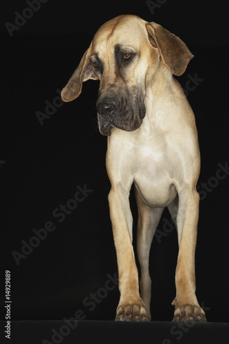 Great Dane standing, front view