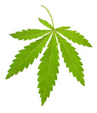 hemp leaf isolated