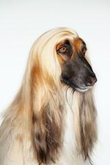 Afghan hound, sitting, close-up