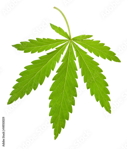 Fotobehang Planten hemp leaf isolated