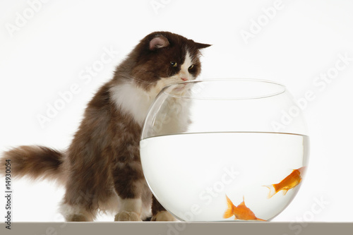 Cat looking at two goldfish in fishbowl, front view