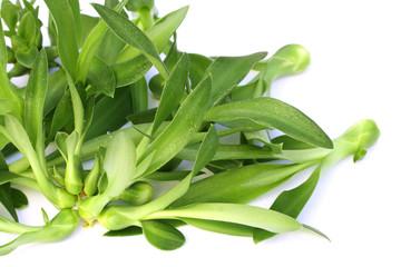jeunes plants d'aloès