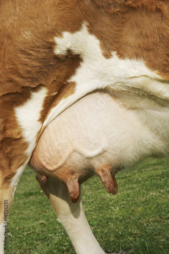 Brown cow outdoors, close-up of udder