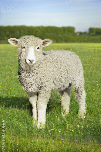 Lamb standing in green meadow looking to camera with blue sky