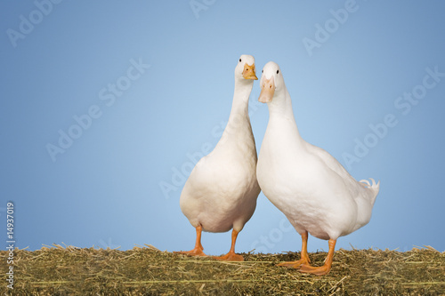 Two geese against blue background