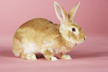 Brown rabbit on pink background