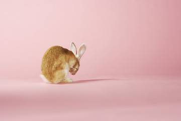 Rabbit grooming on pink background