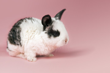 Pet rabbit on pink background
