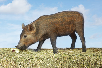 Brown pig sniffing food on hay against sky background, side view digital composite