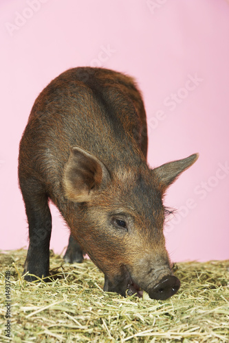 Brown pig on hay against pink background