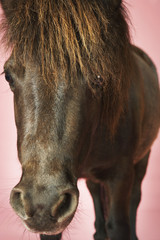 Brown horse against pink background, close-up of head