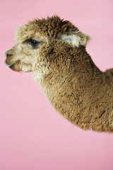Alpaca on pink background, side view of head
