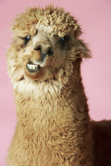 Alpaca on pink background, close-up of head