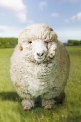 Ram in green field digital composite