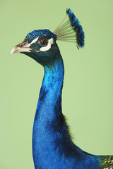 Peacock against green background, side view of neck and head