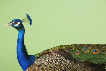 Peacock against green background, side view
