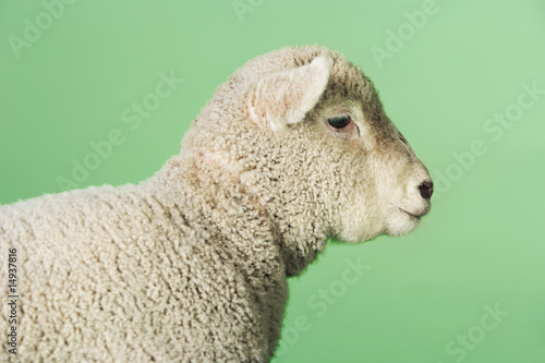 Lamb on green background, side view of upper half