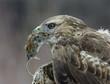 Goshawk holding mouse in beak, close-up