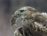 Goshawk holding mouse in beak, close-up