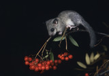 Dormouse sitting on rowan branch
