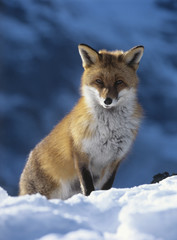 Fox sitting in snow