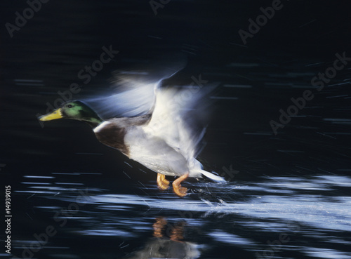 Mallard drake taking off, motion blur